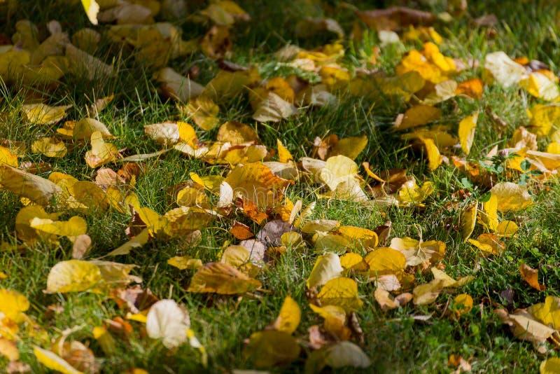 Желтые листья известки стоковое изображение rf