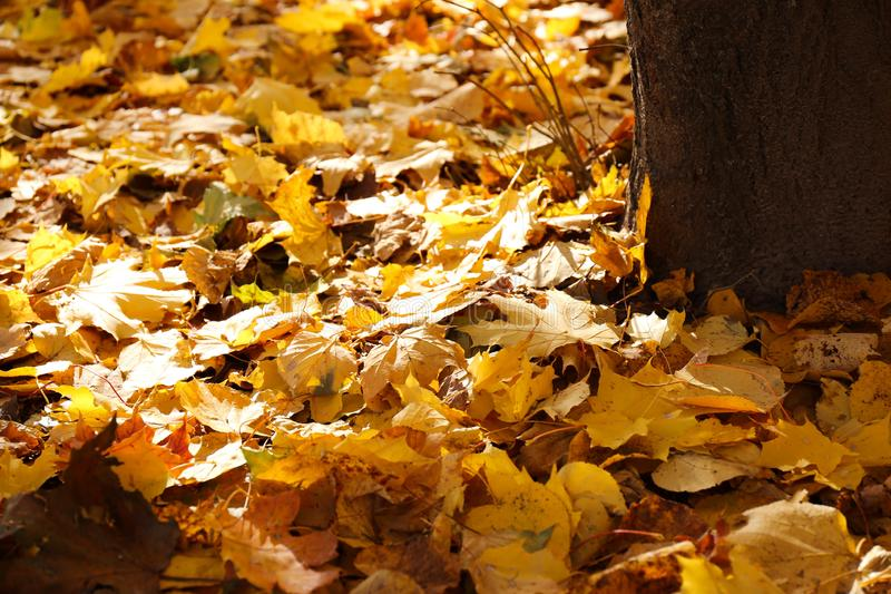 Желтые листья и основание дерева стоковая фотография rf