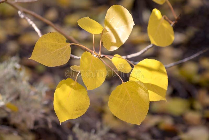 Желтые листья осени падения в епископе Калифорния стоковое изображение