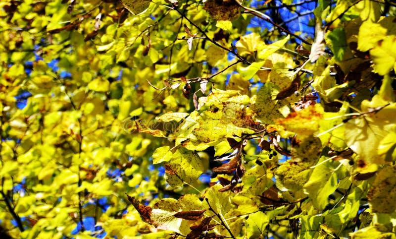Желтые листья против голубого неба, зимы, естественной предпосылки осени экологичности стоковое изображение rf
