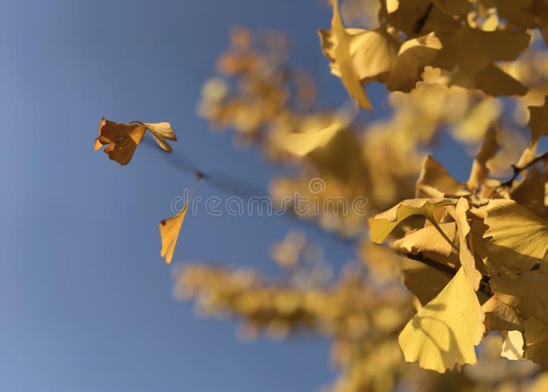 Желтые листья biloba гинкго под голубым небом стоковое изображение