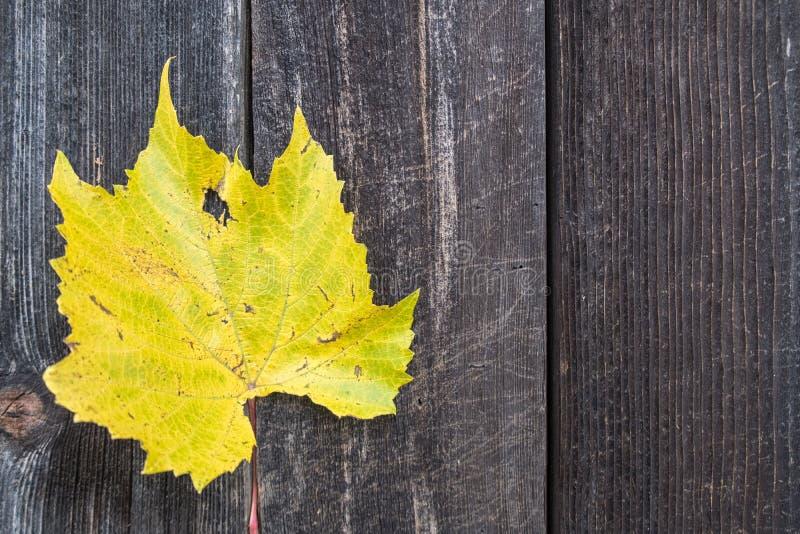 Желтые лист виноградной лозы осени стоковые фотографии rf