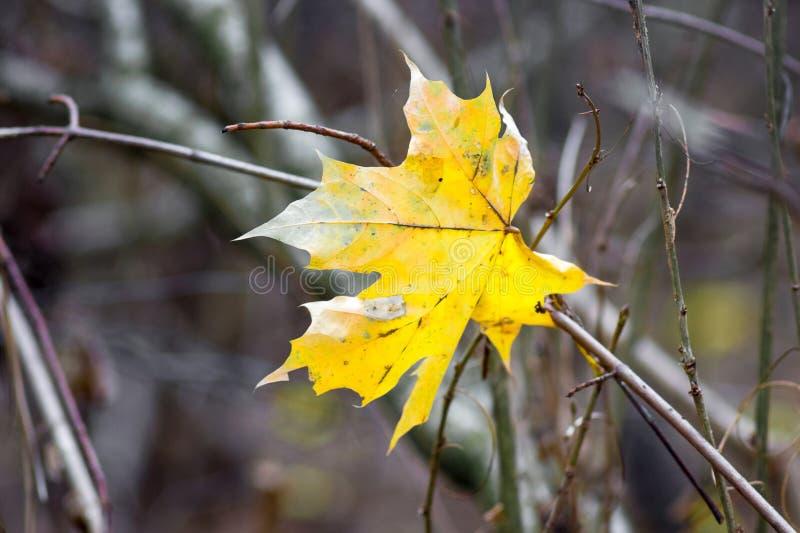 Желтые лист осени клена в лесе на предпосылке обнаженного branches_ стоковые фотографии rf