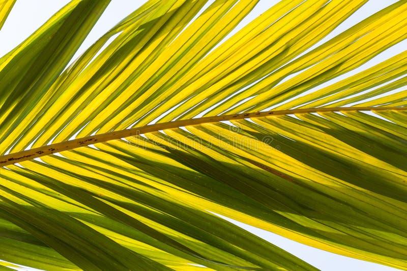 Желтые лист plam под ясным голубым небом стоковая фотография rf
