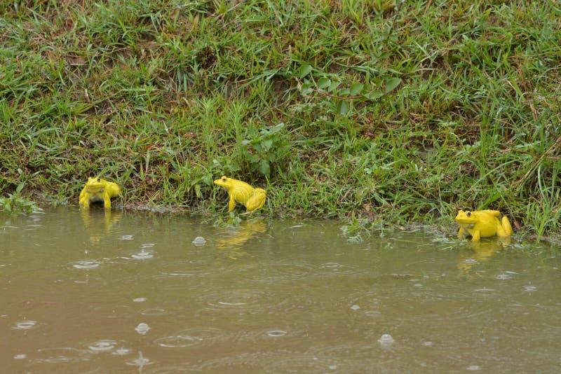 Желтые лягушки играют стоковое изображение