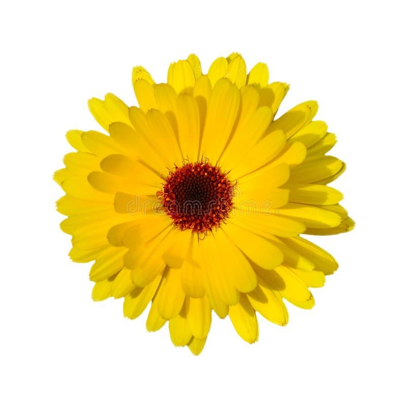 Желтые маргаритка или стоцвет изолированные на белой предпосылке Золотой стоцвет, золотой конец Marquerite вверх Конец головы цве стоковое изображение