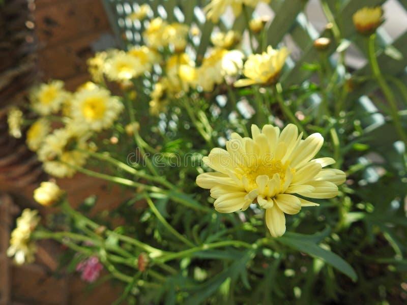 Желтые маргаритки маргаритки зацветая в солнце лета стоковые фотографии rf
