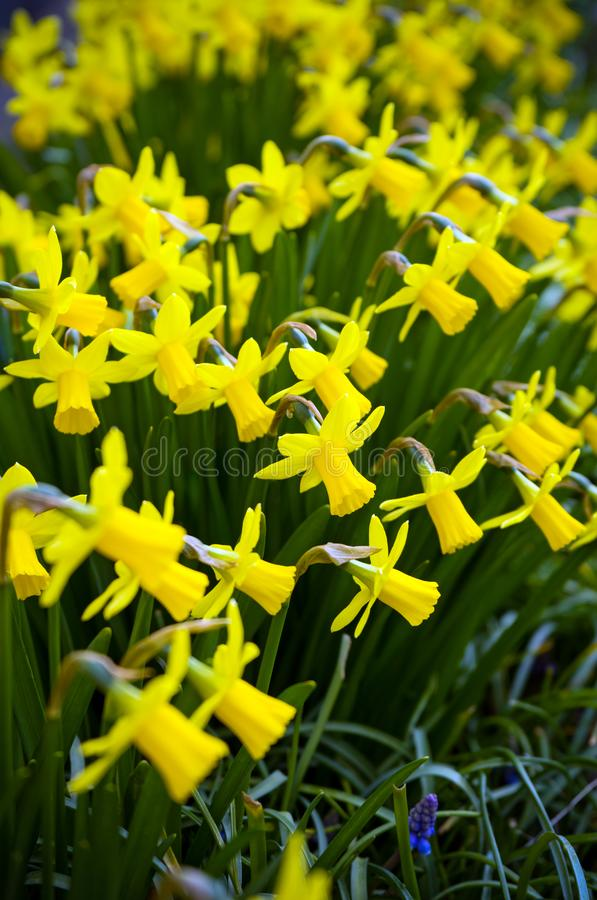 Желтые миниатюрные зацветая Daffodils в домашнем зеленом саде стоковое фото rf