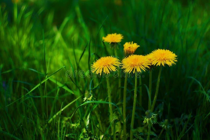 Желтые одуванчики в зеленой траве стоковые изображения