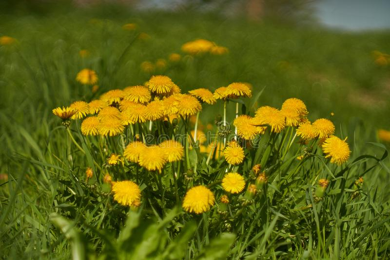 Желтые одуванчики в зеленой траве стоковое фото
