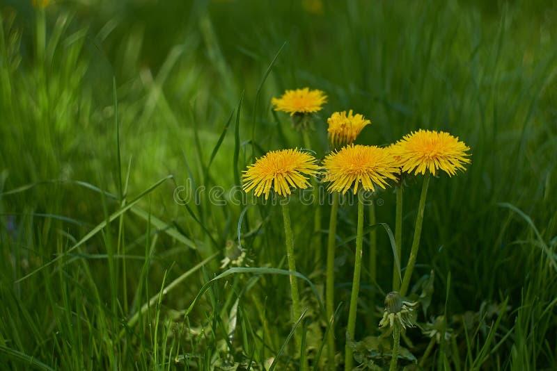 Желтые одуванчики в зеленой траве стоковое изображение