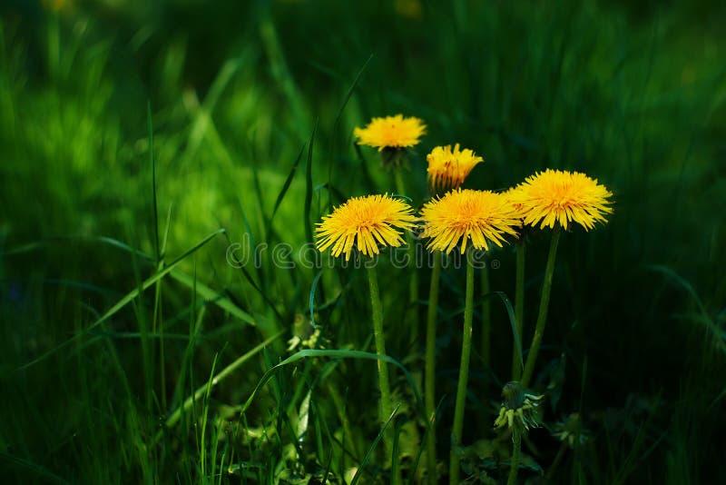 Желтые одуванчики в зеленой траве стоковая фотография