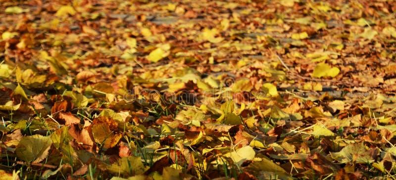 Желтые оранжевые сухие листья, зима, естественная предпосылка осени экологичности стоковое фото