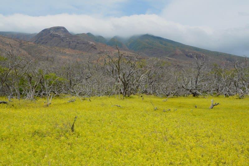 Желтые поле и горы на Молокаи стоковые фото
