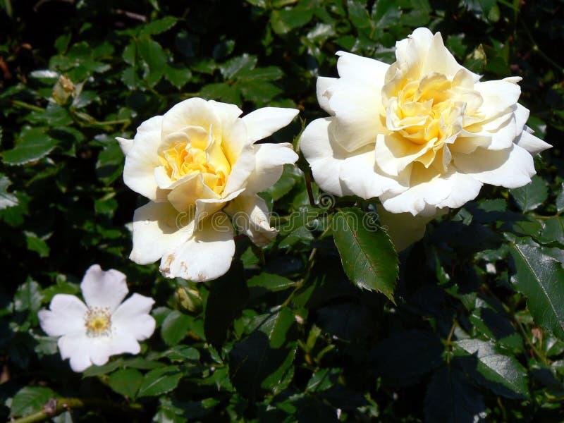 Желтые розы стоковое фото