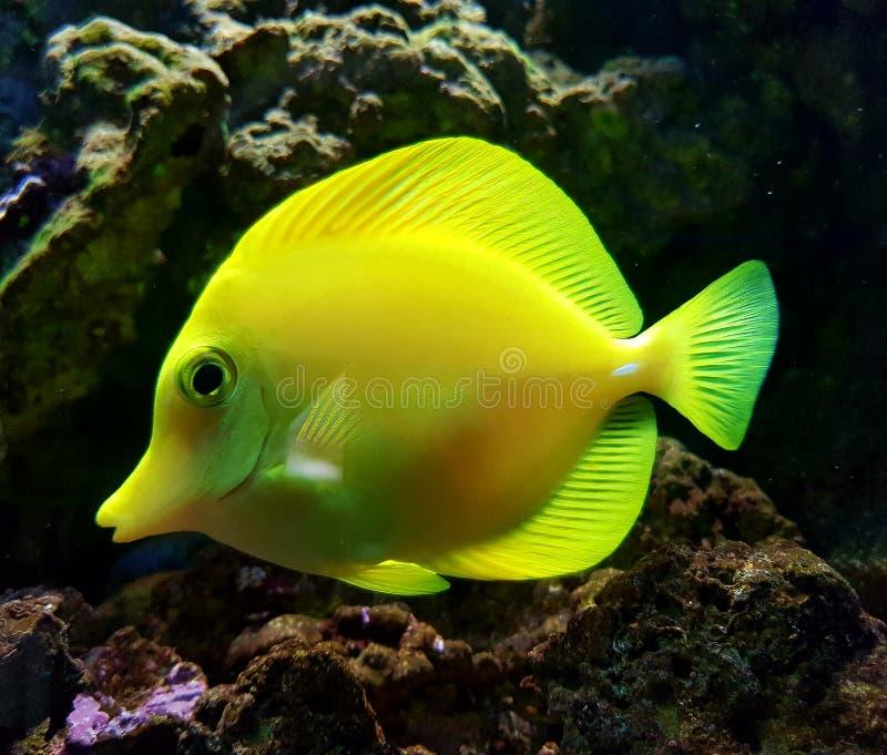 Желтые рыбы океана стоковое фото