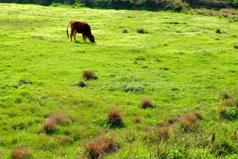 Желтые скотины в поле стоковые изображения rf