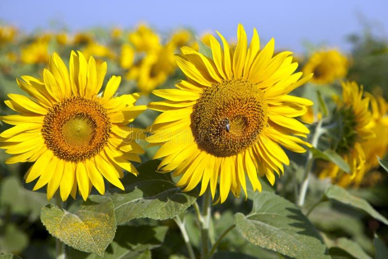 Желтые солнцецветы на поле против поля солнцецвета цветков голубого неба зрелого, лета, солнца стоковые фотографии rf
