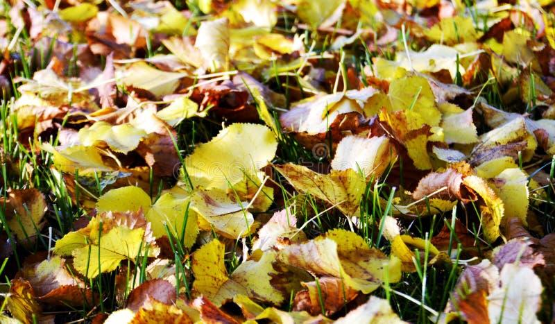 Желтые сухие листья, зима, естественная предпосылка осени экологичности стоковая фотография