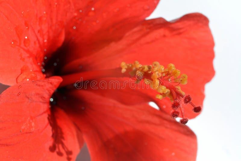 Желтые тычинки на красном пестике гибискуса цветут стоковые изображения rf