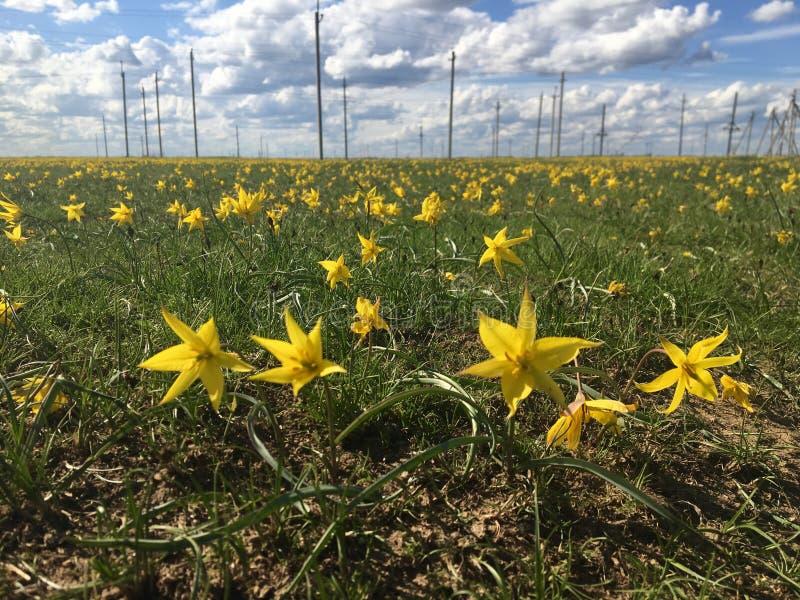 Желтые тюльпаны в русской степи стоковая фотография