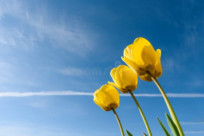 Желтые тюльпаны в солнечном свете голубое небо желтый цвет весны лужка одуванчиков предпосылки полный стоковое фото rf