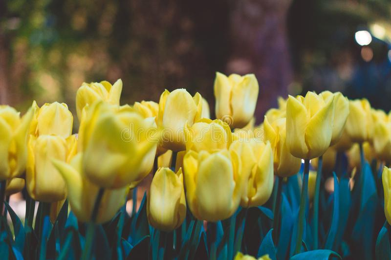 Желтые тюльпаны как знаки весны стоковое фото rf