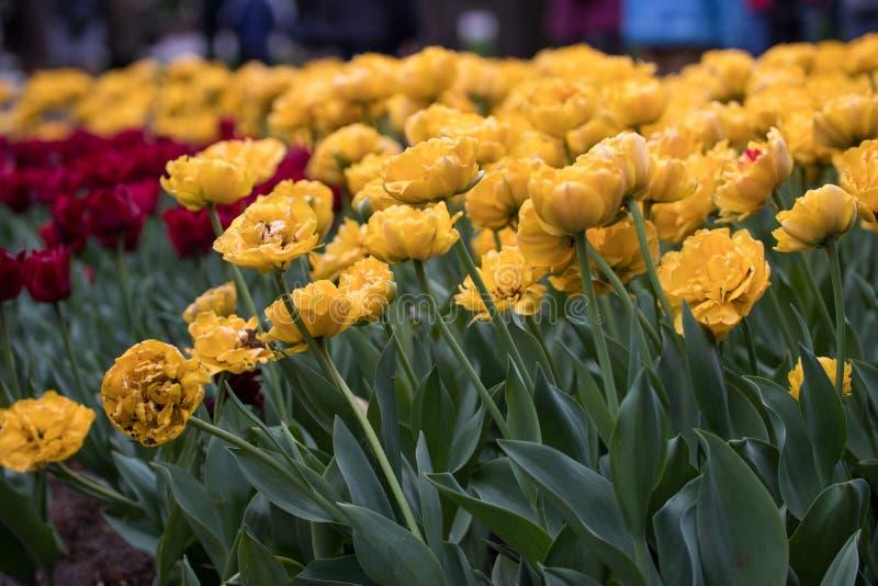 Желтые тюльпаны с двойными лепестками стоковая фотография