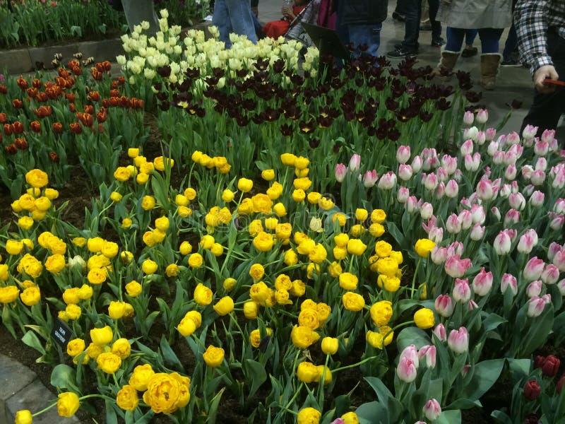 Желтые тюльпаны цветков, розовых и красных стоковые фото