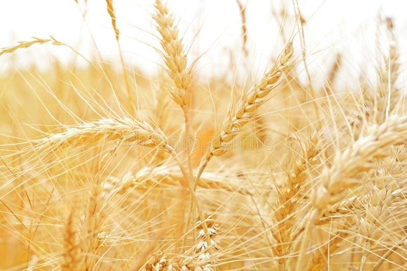 Желтые уши пшеницы в поле крупного плана стоковая фотография rf