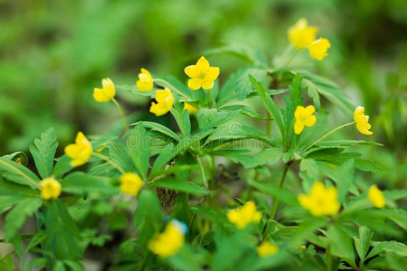 Желтые цветки в лесе стоковое фото rf