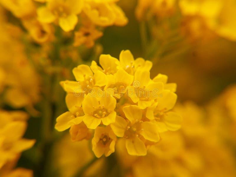 Желтые цветки в саде стоковые фото