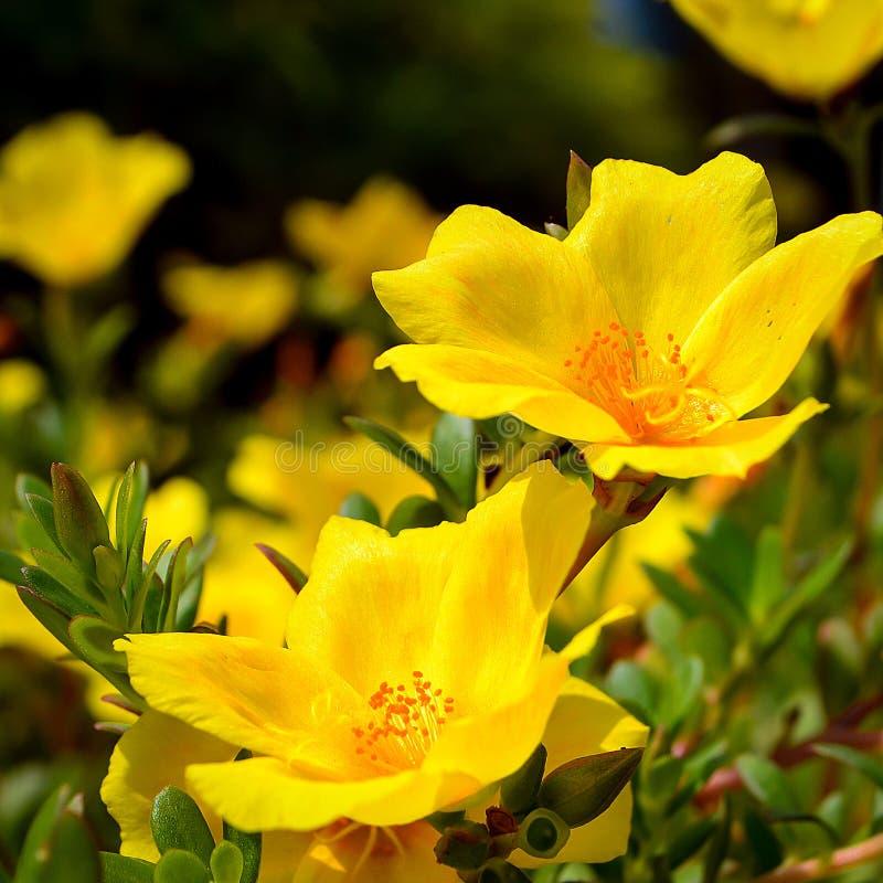 Желтые цветки в солнечном свете стоковое фото