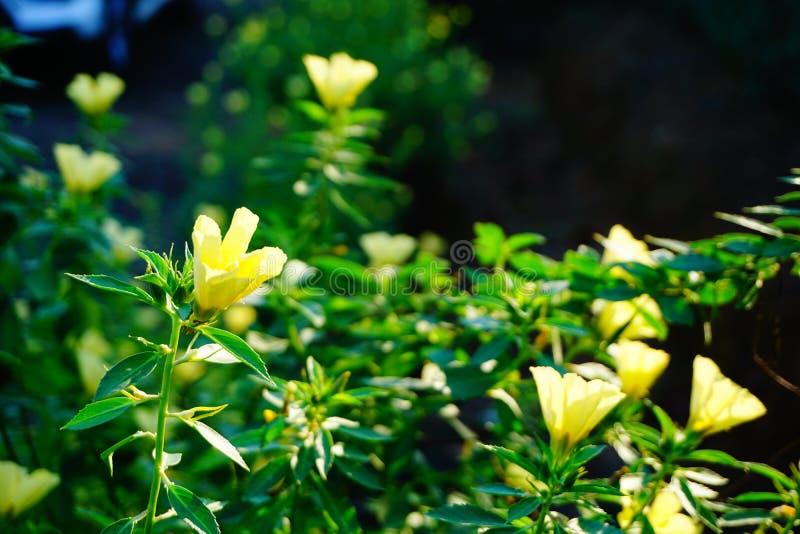 Желтые цветки в Таиланде стоковые фотографии rf