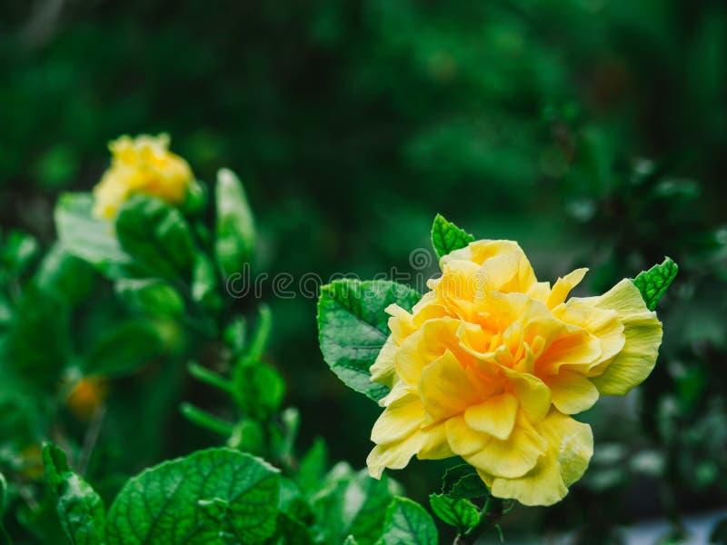 Желтые цветки гибискуса, китайцы Роза, цветок ботинка, предпосылка природы стоковое изображение