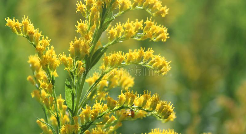 Желтые цветки и бутоны сада с освещением захода солнца стоковая фотография