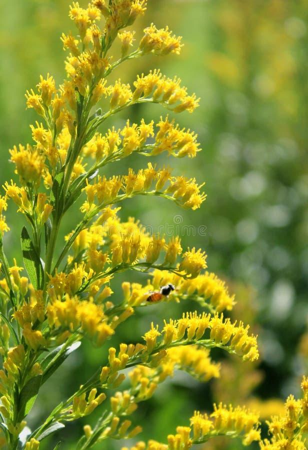 Желтые цветки и бутоны сада с освещением захода солнца стоковые изображения
