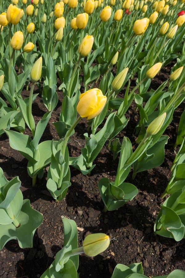 Желтые цветки и бутоны тюльпанов в flowerbed стоковое фото rf