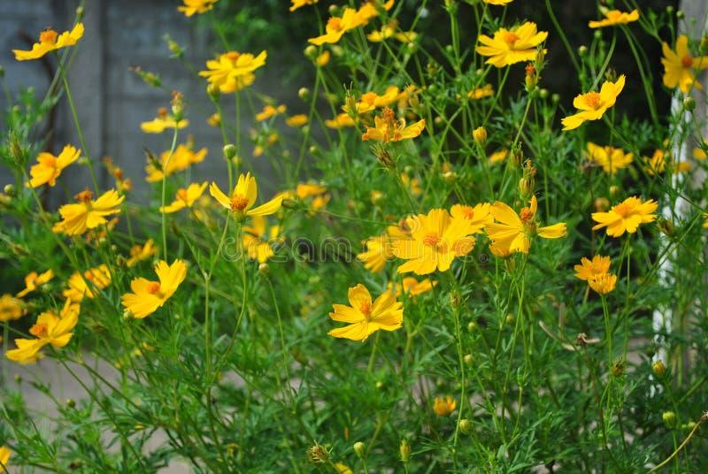Желтые цветки космоса в дне блеска стоковое изображение