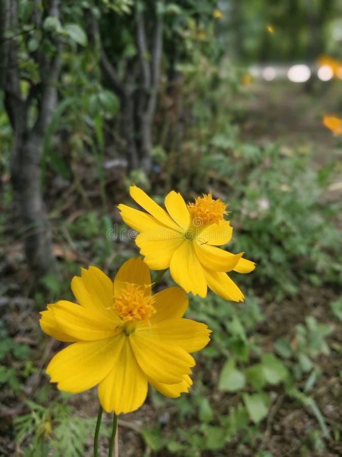 Желтые цветки космоса в саде стоковое изображение rf