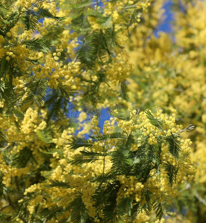 желтые цветки мимоз стоковые изображения