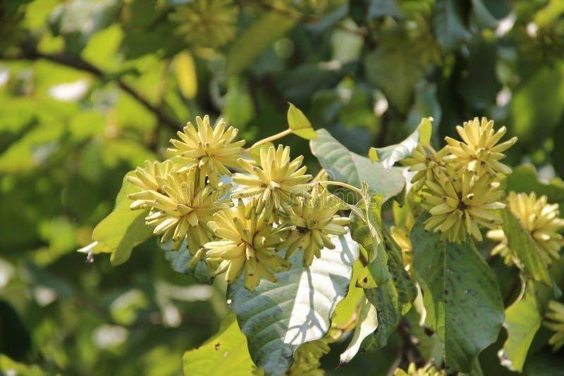 Желтые цветки на ветви дерева стоковые фотографии rf