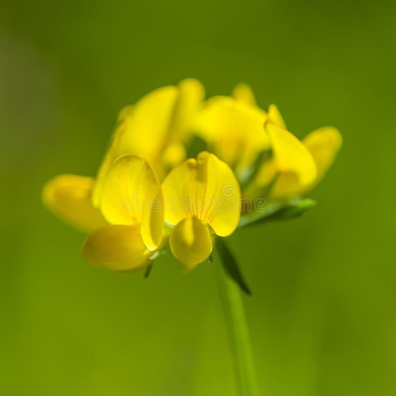 Желтые цветки на запачканной зеленой предпосылке стоковая фотография rf