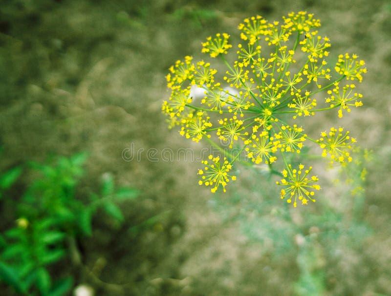 Желтые цветки на зеленой предпосылке травы стоковое изображение rf
