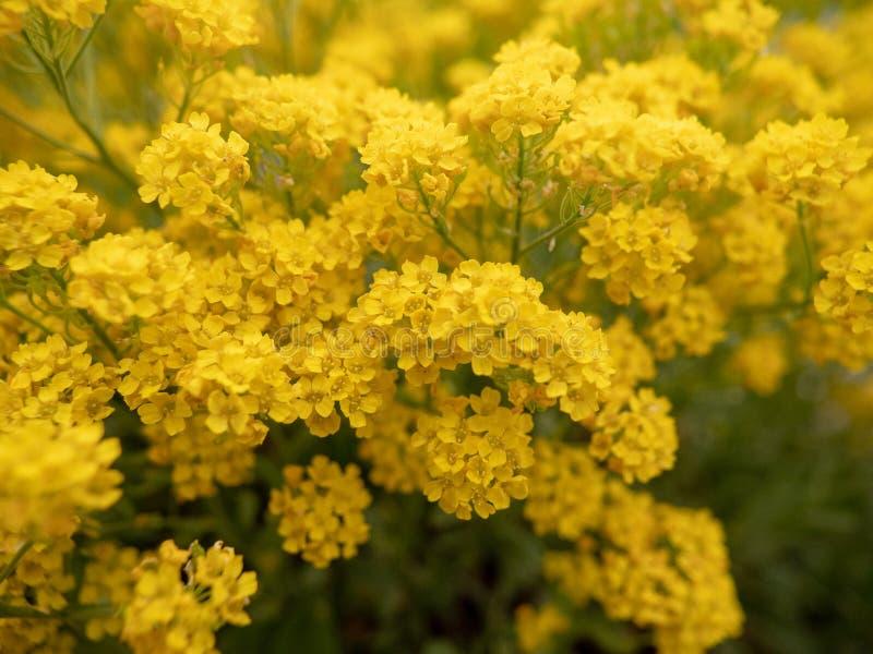 Желтые цветки на поле стоковое изображение