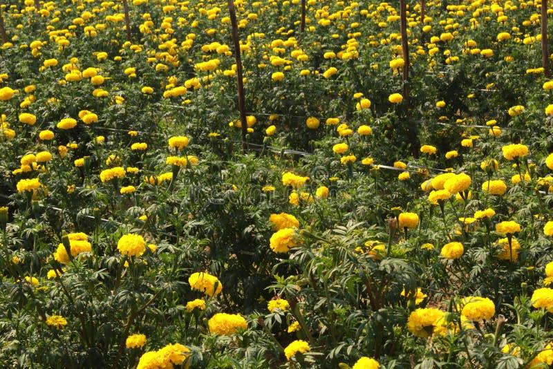 Желтые цветки ноготк в саде стоковое фото rf