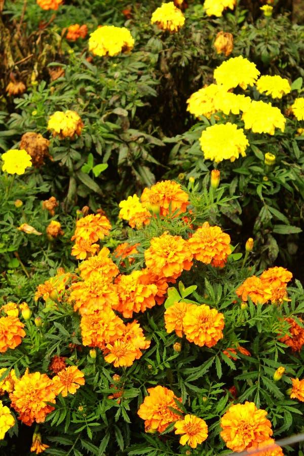 Желтые цветки ноготк в саде стоковая фотография rf