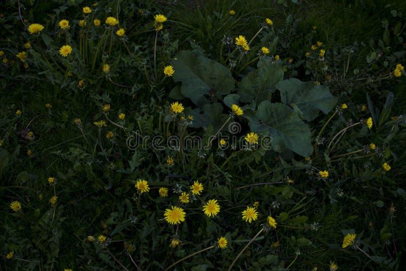 Желтые цветки одуванчика на зеленой траве как предпосылка бесплатная иллюстрация