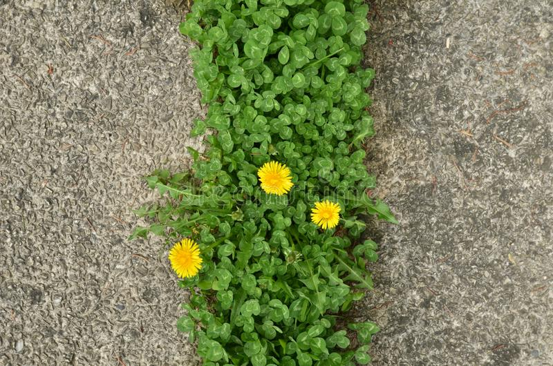 Желтые цветки одуванчика среди травы клевера стоковые изображения
