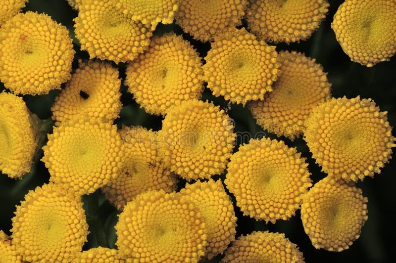 Желтые цветки пижмы - vulgare Tanacetum, общий завод пижмы, горькая кнопка, корова горькая, или золотые кнопки - зеленым летом стоковые фото